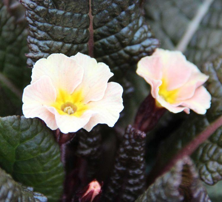 Primula-vulgaris-Dunbeg-3