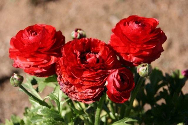Лютик азиатский, или Лютик садовый, Ранункулюс (Ranunculus asiaticus)
