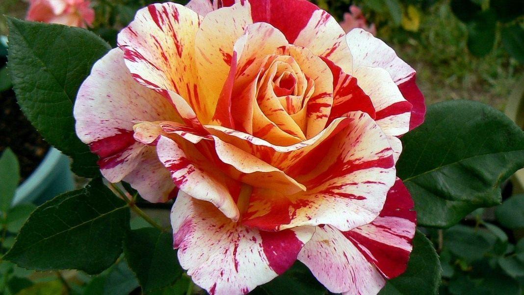 Rose-Maurice-Utrillo-1