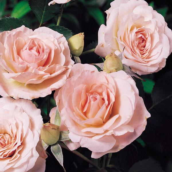 Rose-Morden-Blush-1