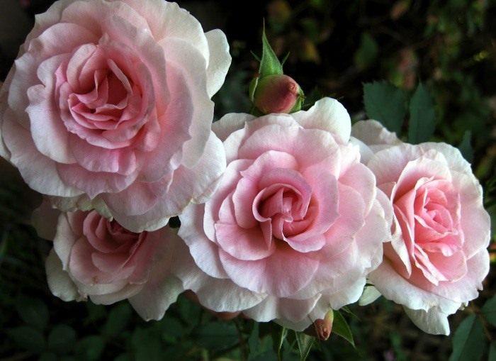 Rose-Morden-Blush-2