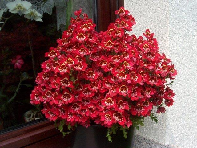 Схизантус визетонский (Schizanthus wisetonensis)