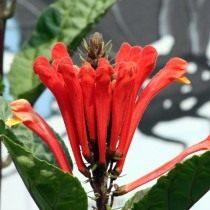 Шлемник костариканский (Scutellaria costaricana)