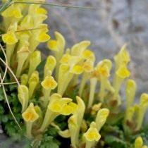 Шлемник восточный (Scutellaria orientalis)