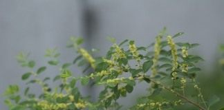 Флюгея полукустарниковая (Flueggea suffruticosa), или Секуринега полукустарниковая, или ветвецветная (Securinega suffruticosa)