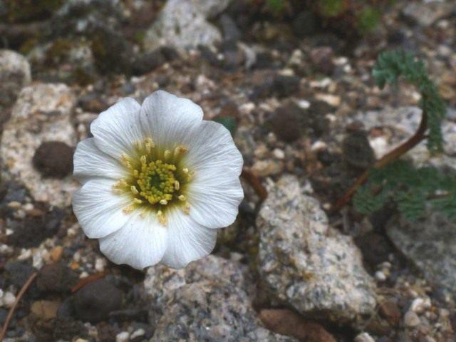 Каллиантемум алатавский, или Красивоцвет алатавский, или Рутовник алатавский (Callianthemum alatavicum)