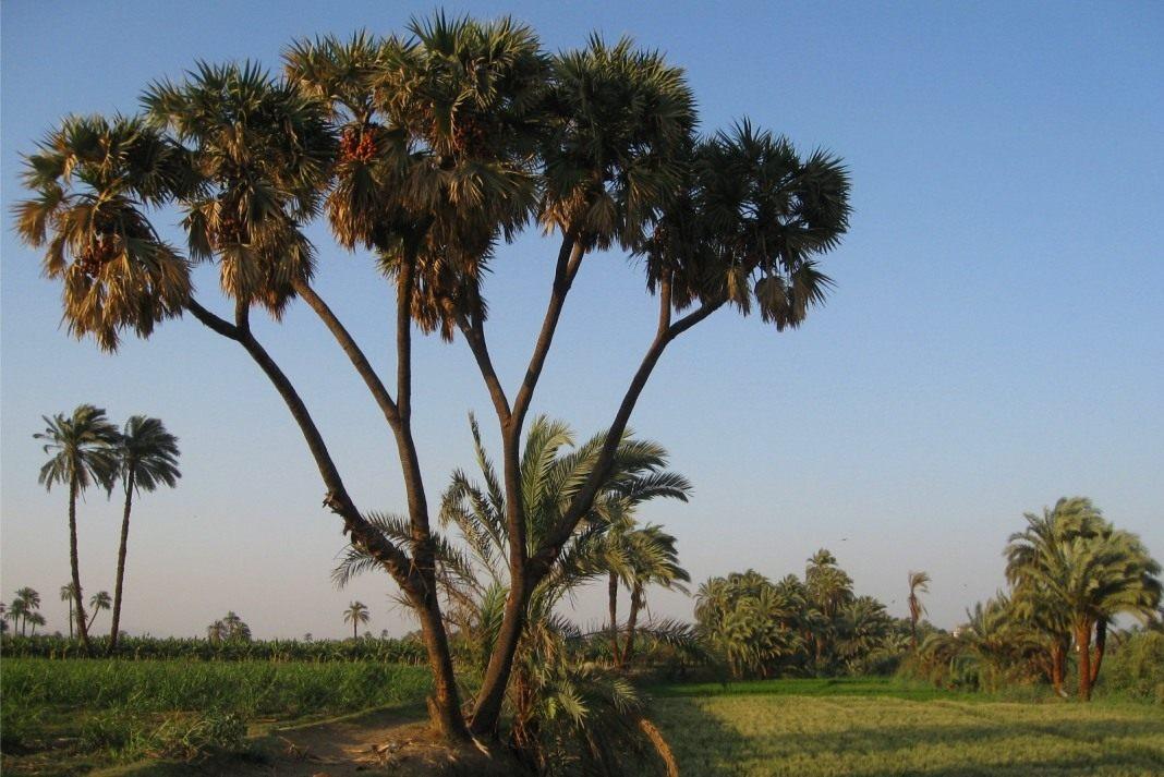 doum-palm
