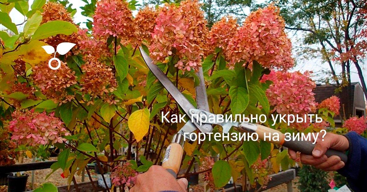 Как укрыть гортензию на зиму в Подмосковье, на Урале и в Сибири?