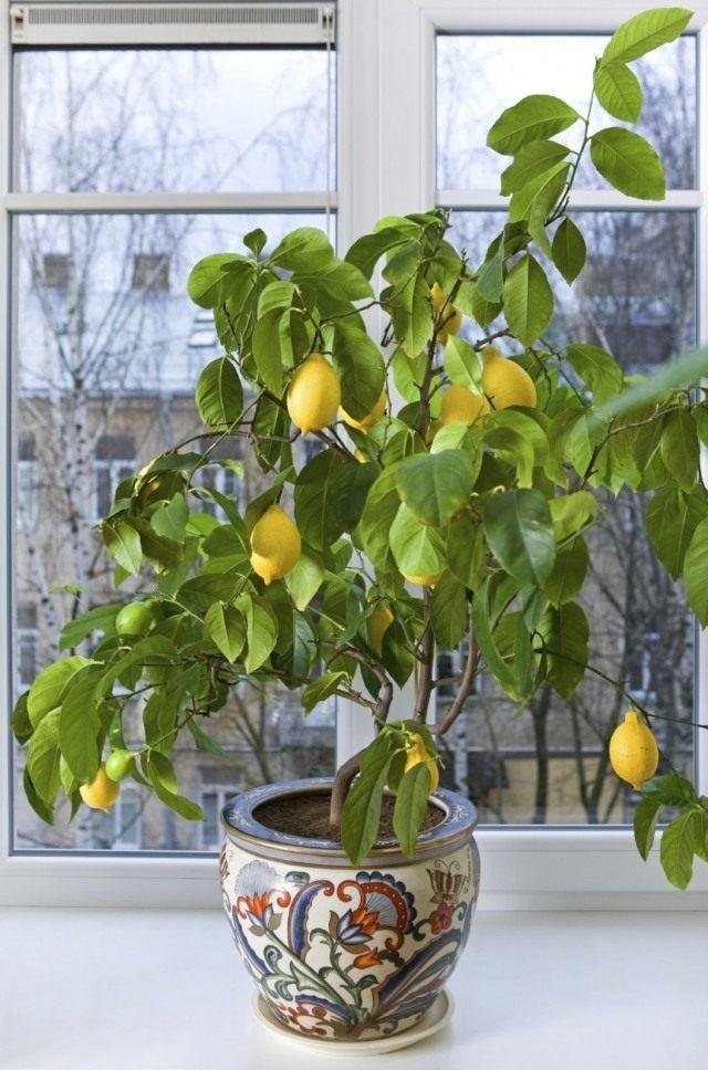 Лимон (Citrus limon)