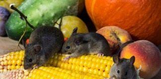 Мыши — грызуны вредители