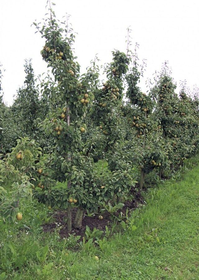 Грушевые деревья