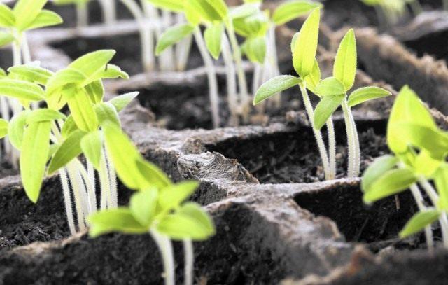 Всходы рассады овощных культур