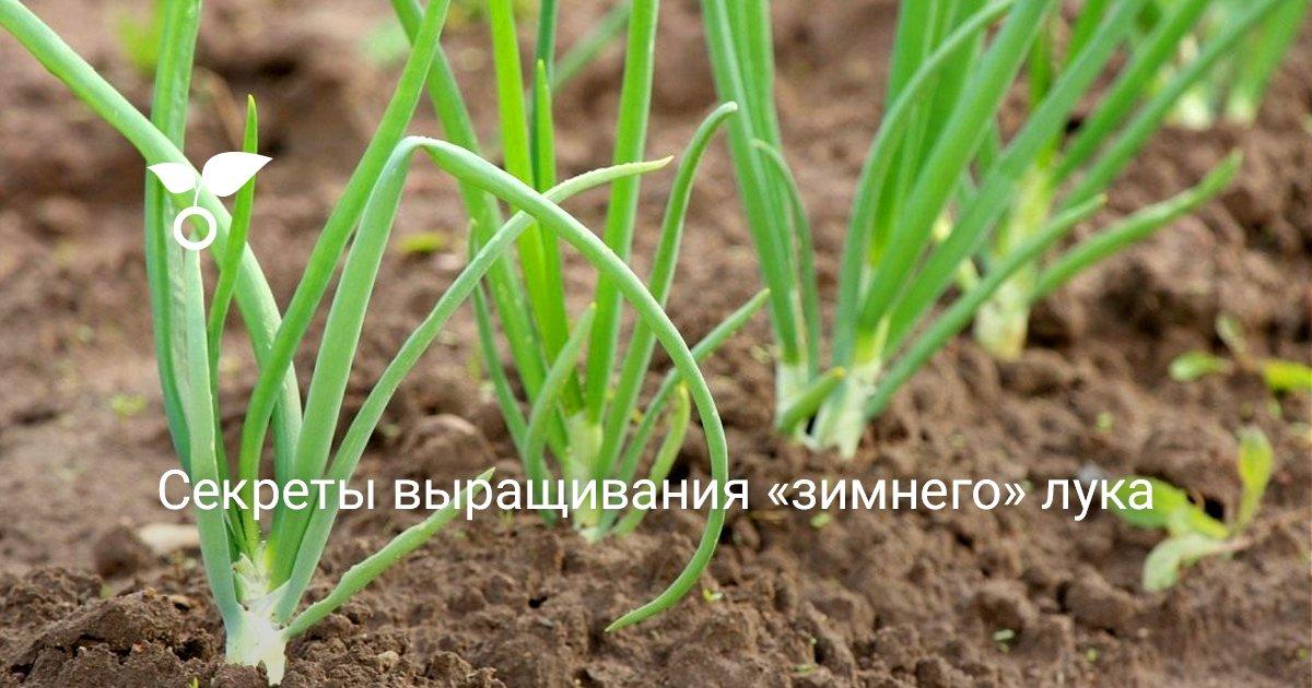 Зимний лук и его выращивание