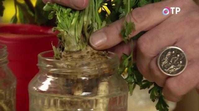 Располагаем корни в банке так, чтобы розетка листьев располагалась над уровнем воды