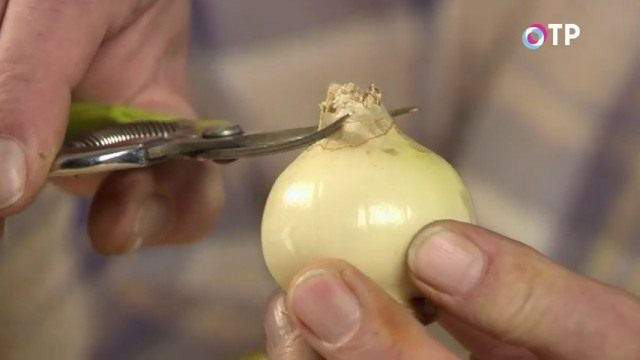 Срезаем верхнюю часть луковицы