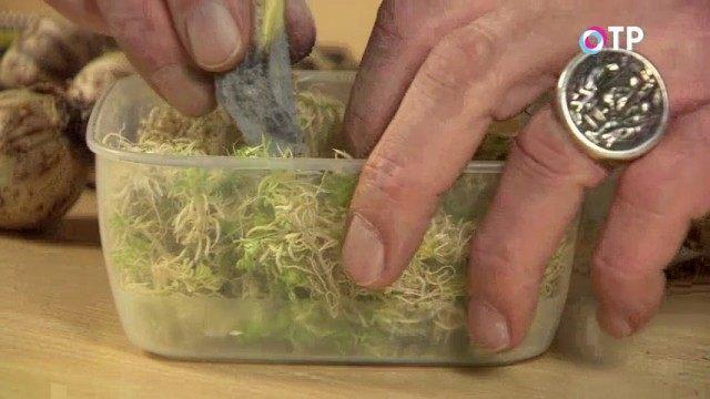 Помещаем луковицы вниз донцом в мох