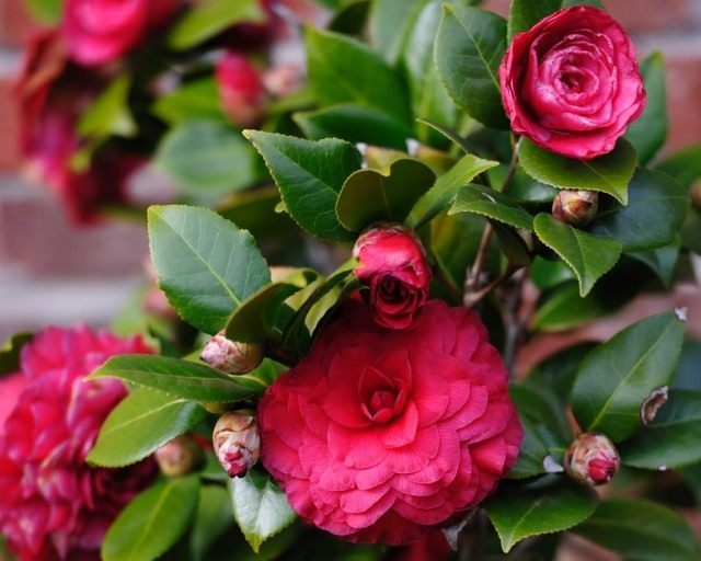 Камелия (Camellia)