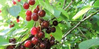 Гибрид вишни и черёмухи Церападус