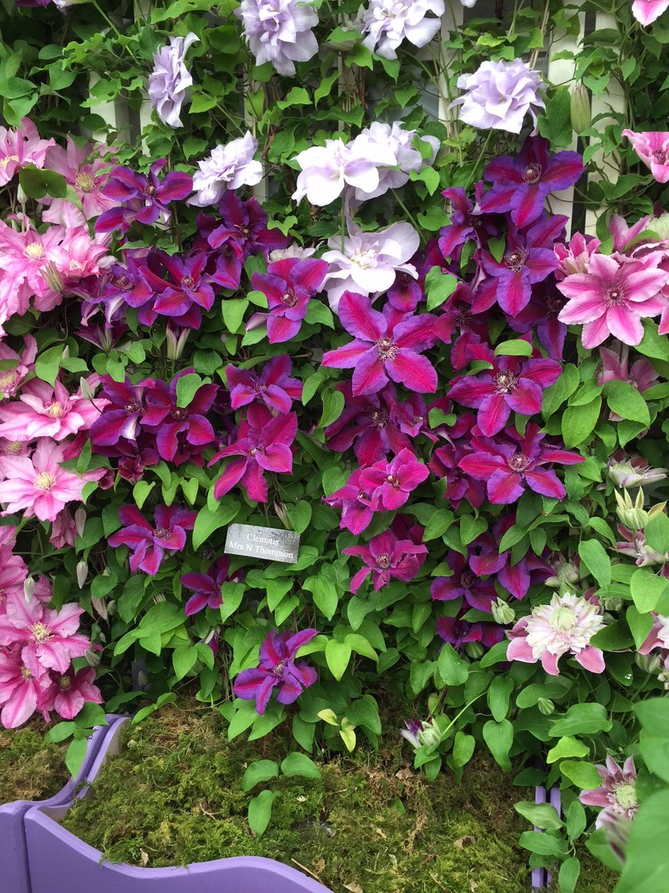 Clematis-Mrs-N-Thompson-3