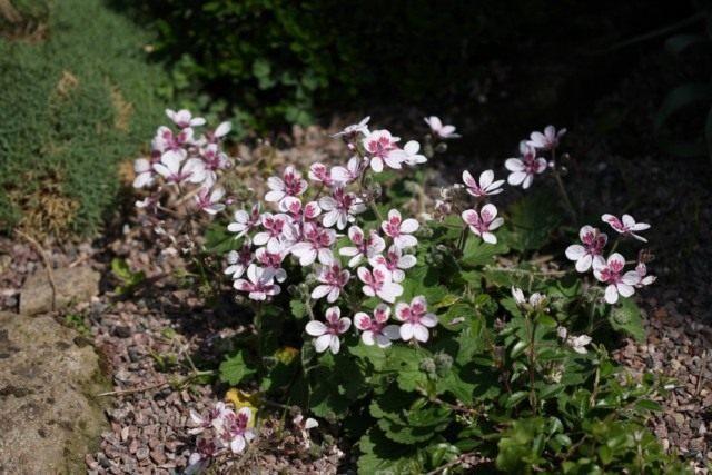 Аистник, или Грабельник (Erodium)