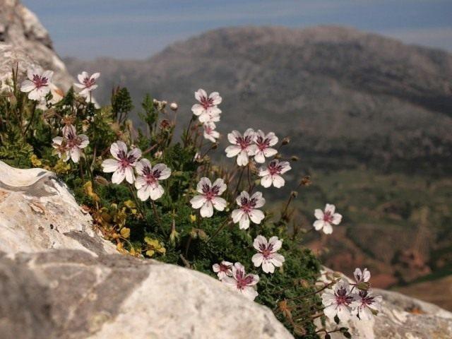 Аистник каменистый, или Аистник гелиантолистный (Erodium cheilanthifolium)