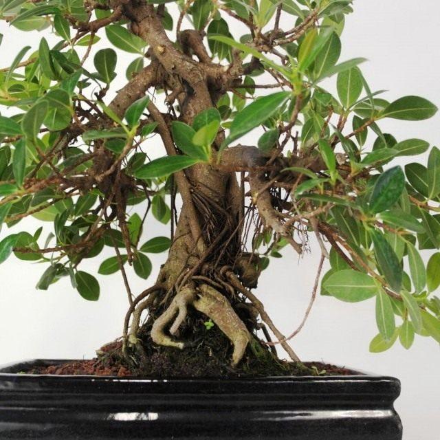 Фикус притупленный, или Фикус ретуза сорт «Панда» (Ficus retusa cv. Panda)