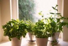 Выращивание зелени и пряных трав на подоконнике