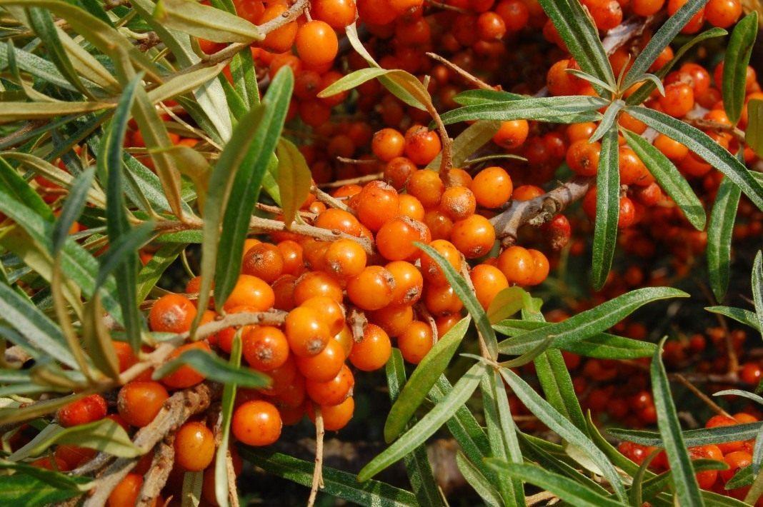 Районированные и новые сорта плодовоягодных культур для