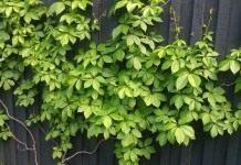 Девичий виноград (Parthenocissus)