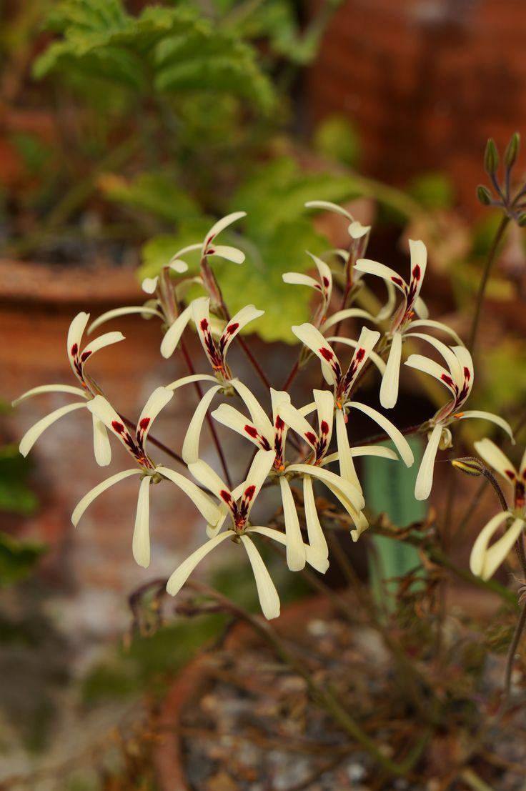 Pelargonium-aristatum-2