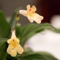 """Примулина """"Айко"""" (Primulina 'Aiko')"""