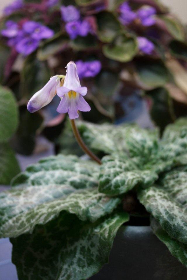 """Примулина дриада """"Хисако"""" (Primulina dryas 'Hisako')"""