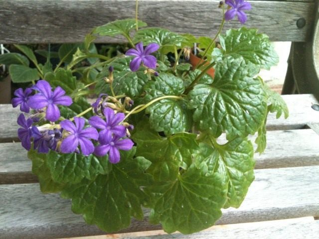 Примулина табачная (Primulina tabacum)