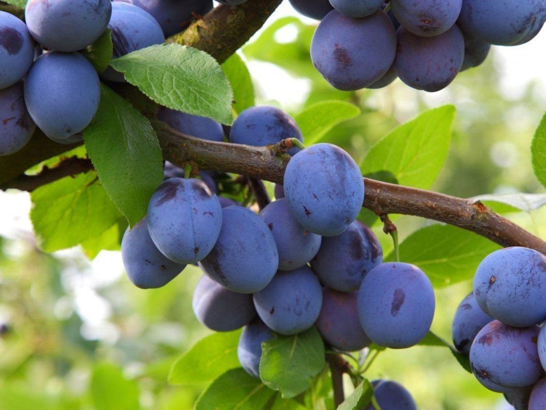 Prunus-domestica