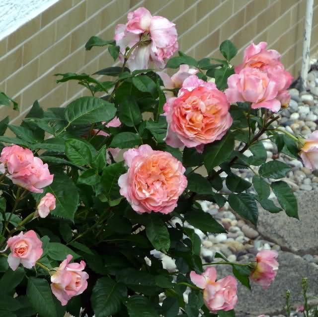 Rose-Augusta-Luise-2
