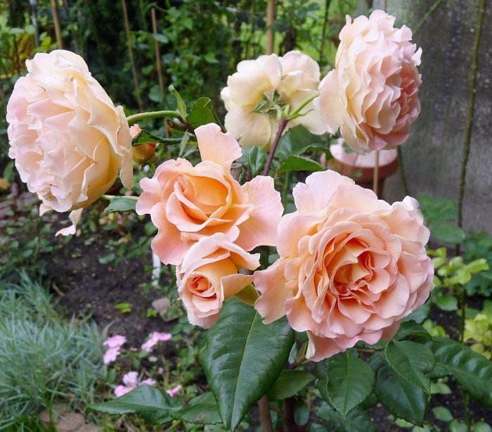 Rose-Augusta-Luise-3