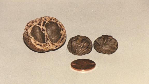 Schinziophyton-rautanenii