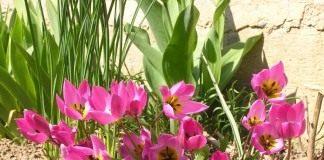Тюльпан карликовый «Helena»