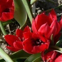 Тюльпан карликовый «Liliput»