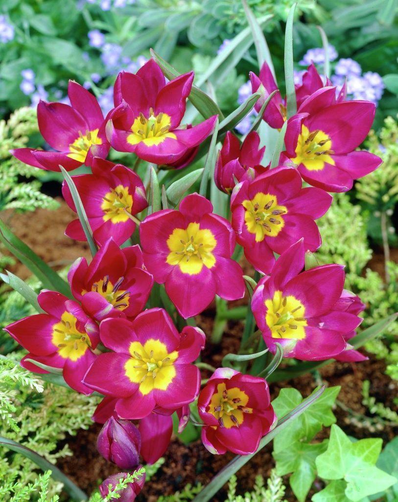 Tulipa-humilis-Odalisque-1