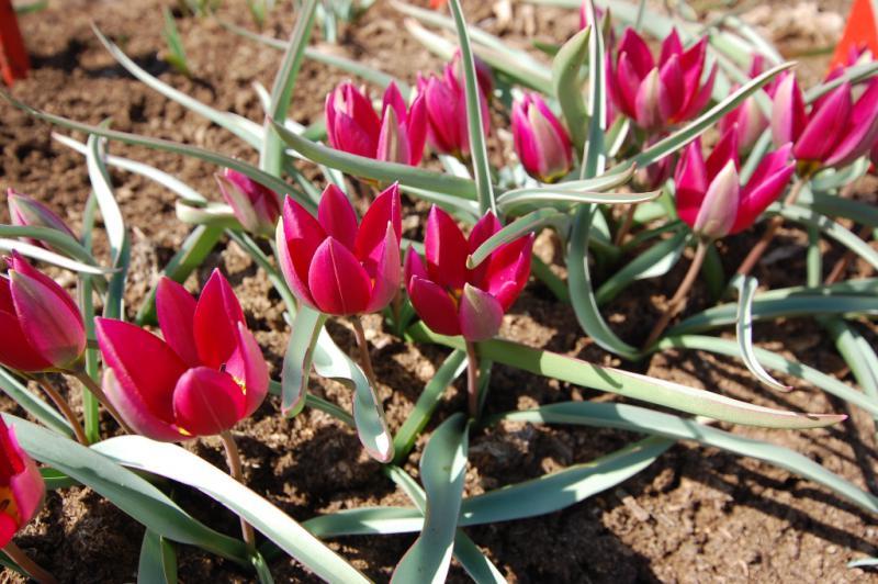 Tulipa-humilis-Odalisque-3