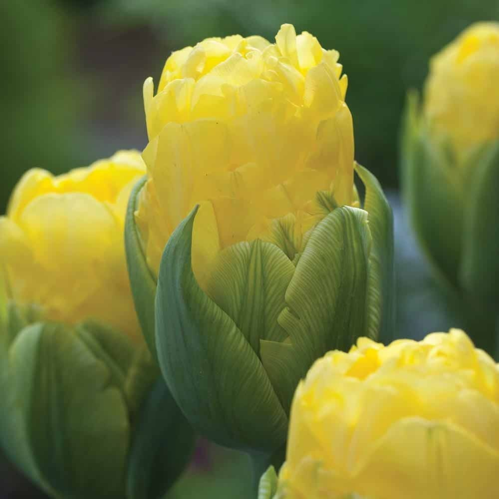 Tulips-Pop-Up-Yellow-1
