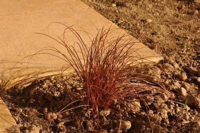 Унциния Эгмонта (Uncinia egmontiana)