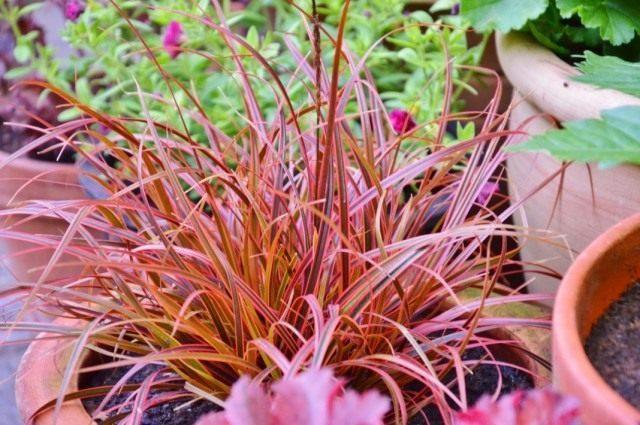 """Унциния красная """"Эверфлэйм"""" (Uncinia rubra 'Everflame')"""