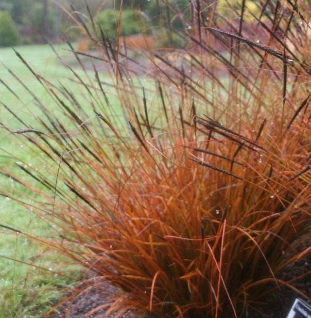 Унциния крючковатая (Uncinia uncinata)
