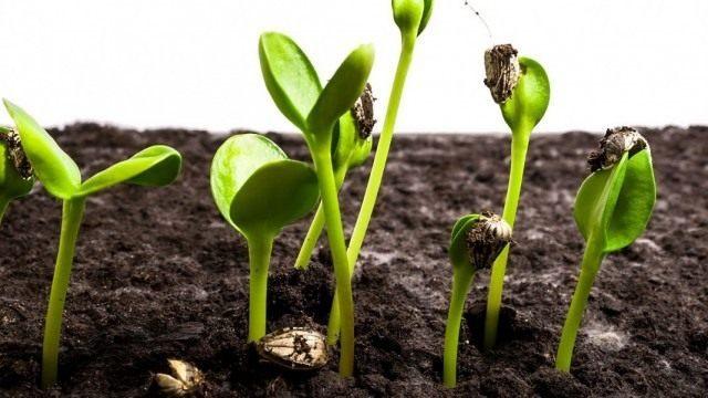 Всходы семян подсолнечника