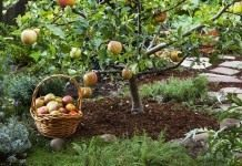 Молодое дерево яблони