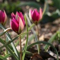 Тюльпан карликовый «Persian Pearl»
