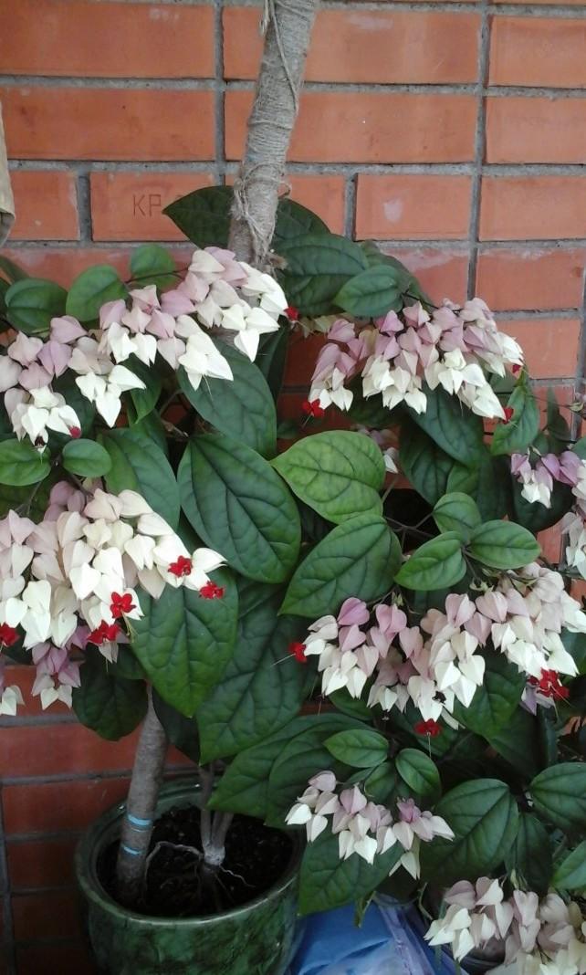 во второй половине цветения изменяется окраска цветков