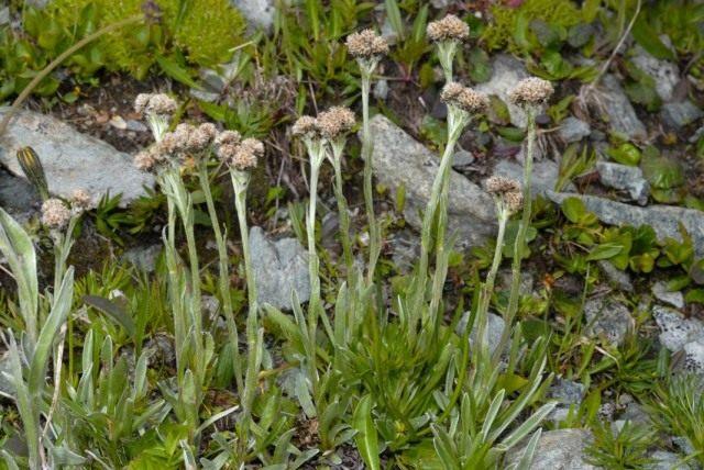 Кошачья лапка карпатская, или Антеннария карпатская (Antennaria carpatica)